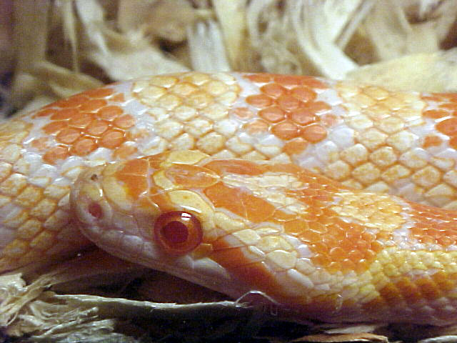 Creamsicle Corn: Strider