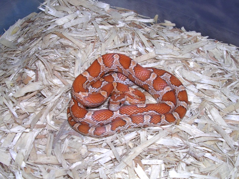 Cinnamon Hatchling