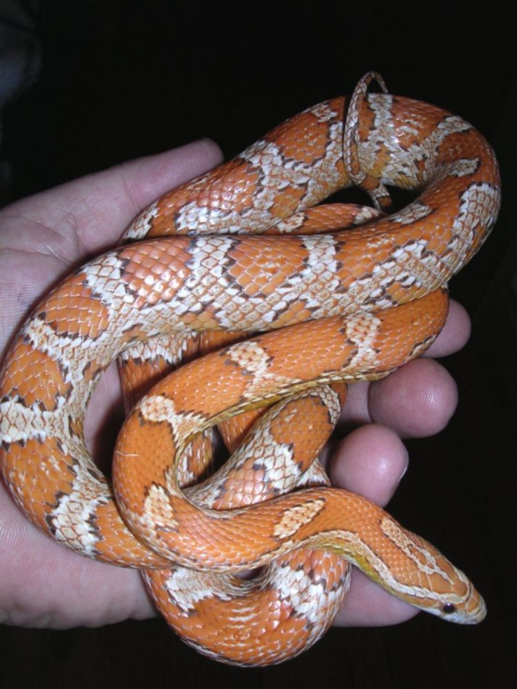 Female Cinnamon: Swan