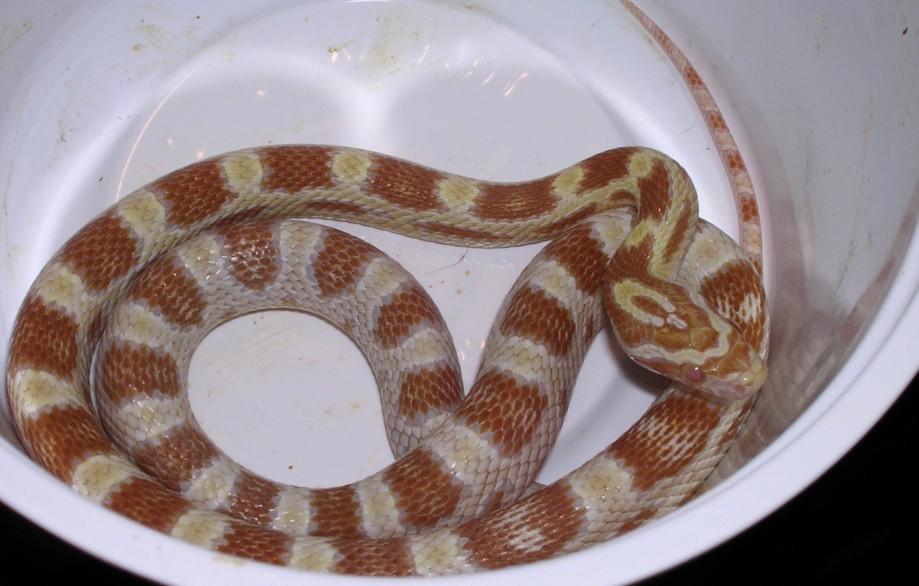 ButterCorn Snake: Venna