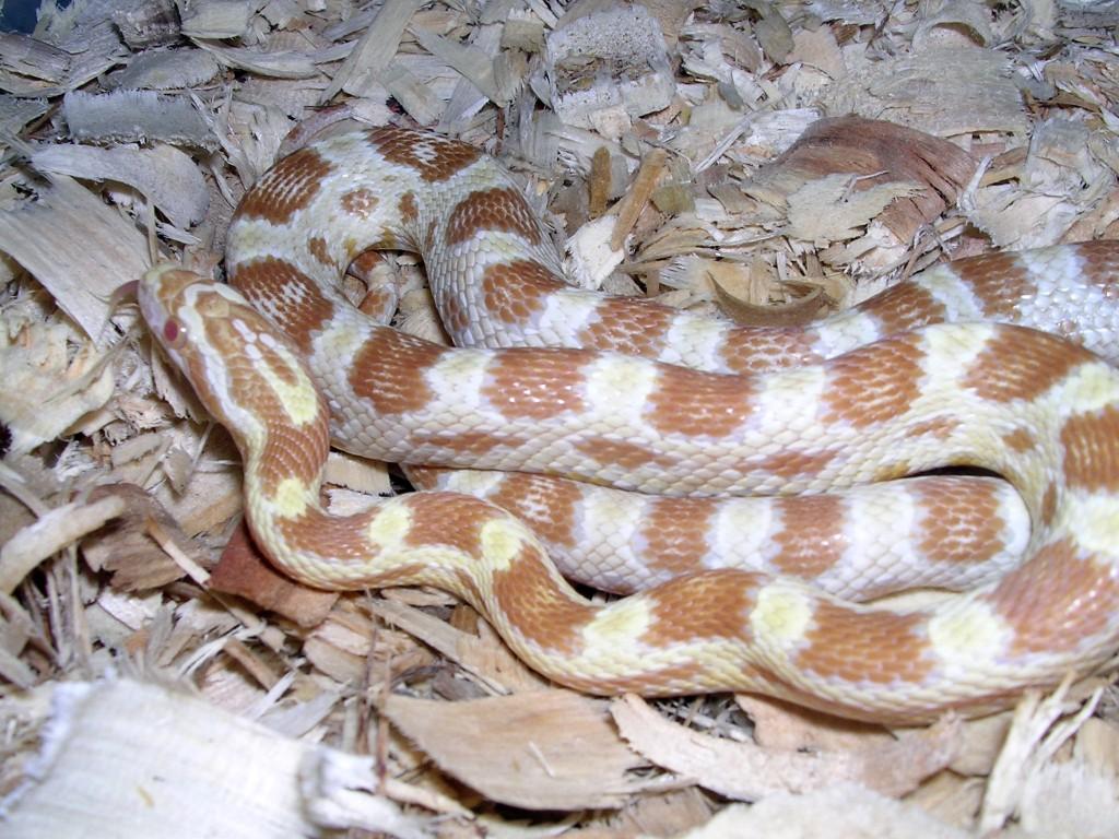 Butter Corn Snake: Venna
