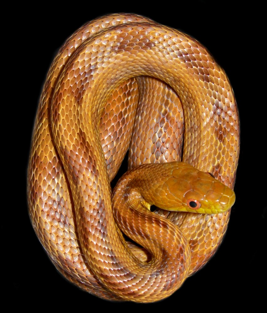 a nice example of a yellow rat snake