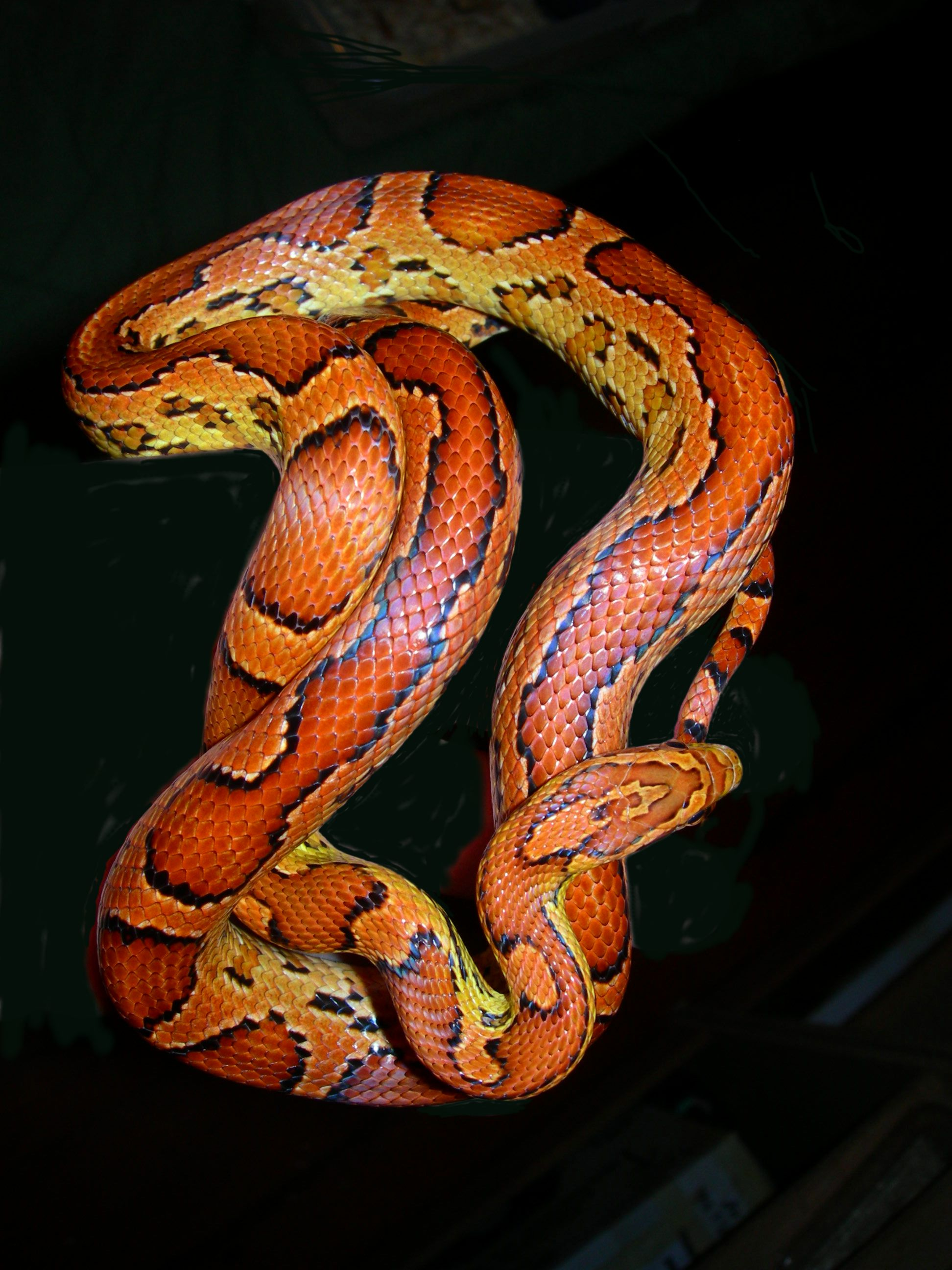 Okeetee Corn Snake: Zipper